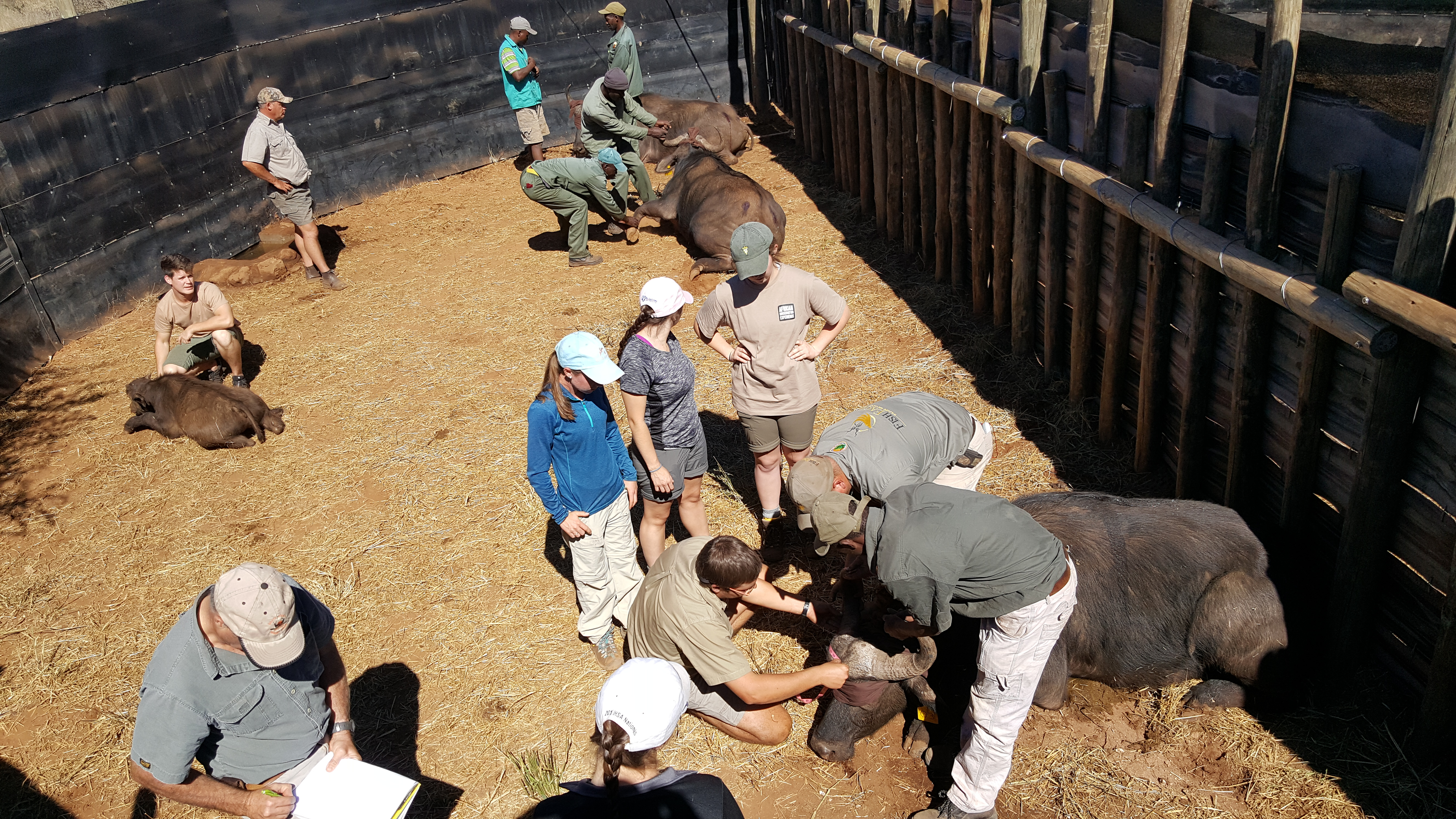 Working with Cape Buffalo in South Africa